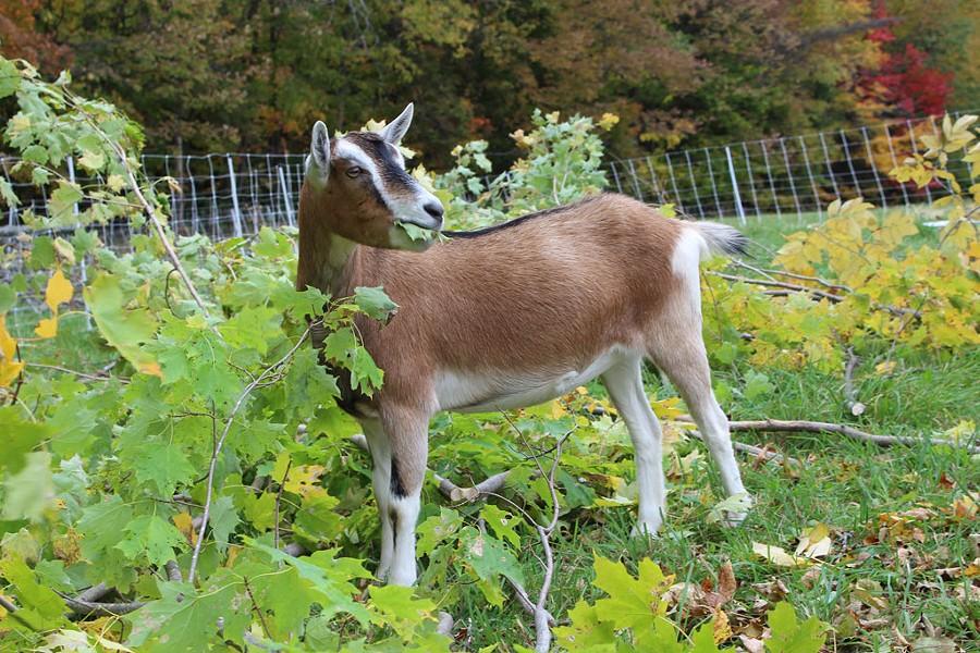 Daisy the goat - COURTESY OF SARAH NOLIN