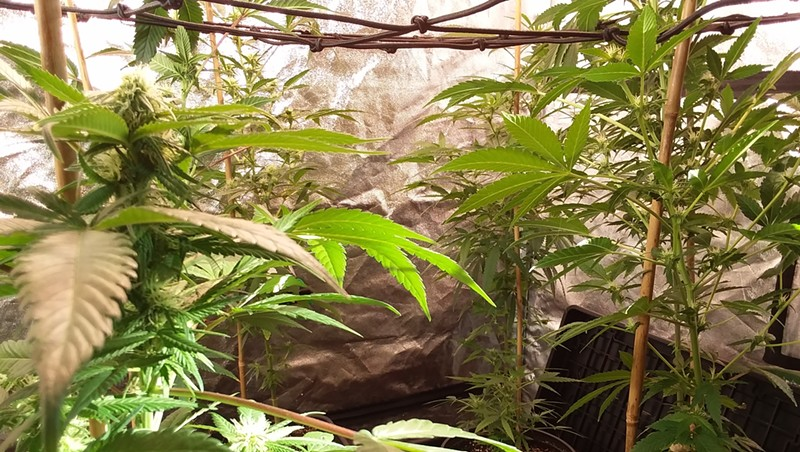 Hemp in a grow tent at Green State Gardener