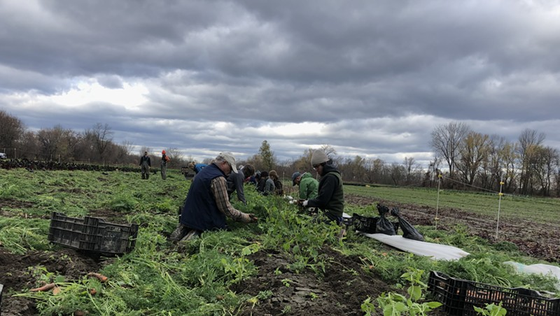 Volunteers and farm staff harvesting carrots at the Intervale Community Farm