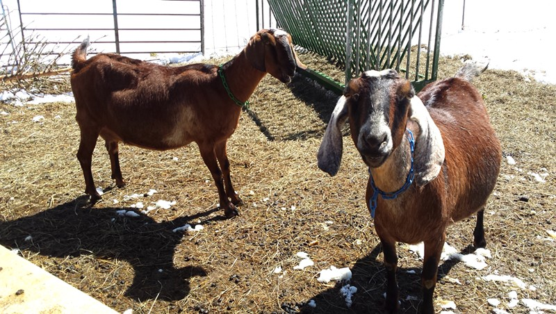 Ginger and Junebug, Big Picture Farm goats