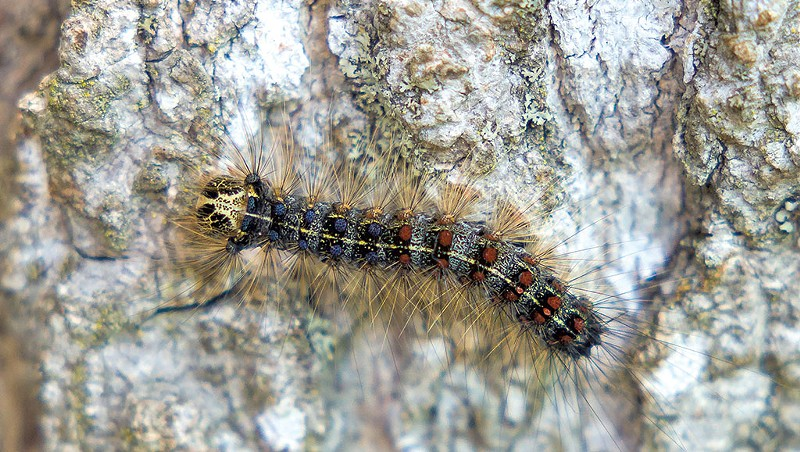 After a 30-Year Lull, Gypsy Moth Caterpillars Infest the Champlain Valley
