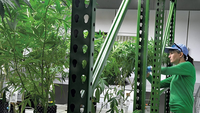 Trimming plants at Champlain Valley Dispensary
