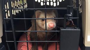 Craig the ferret