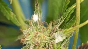 White mold on a cannabis plant