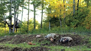 Pastured pigs at Sugar Mountain Farm