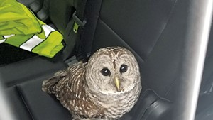 The injured owl