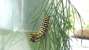 An eastern black swallowtail caterpillar