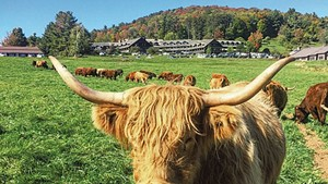 Scottish Highland cattle at Trapp Family Lodge