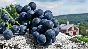 Grapes harvested at Boyden Valley Winery & Spirits