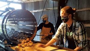 Farmer Mark Cannella (rear) and volunteer Rebecca Mead washing Valentine Farm potatoes in 2020