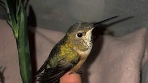 Male rufous hummingbird rescued in December 2020