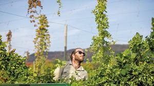 Hops harvesting at Champlain Valley Hops