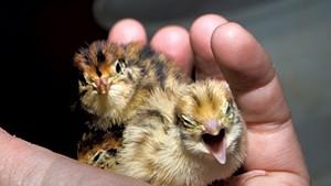 Hatchling quail