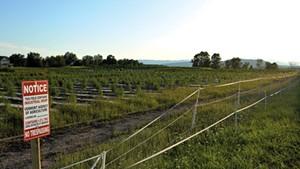 Hemp fields covered in black plastic