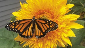 A monarch butterfly on a sunflower