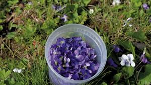 Foraging violets