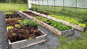 Lettuce grown by Harwood Union High School students