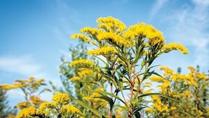 Yellow flowering goldenrod