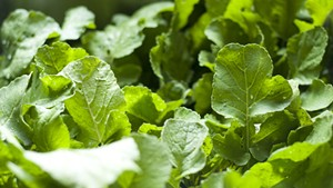 Radish greens!