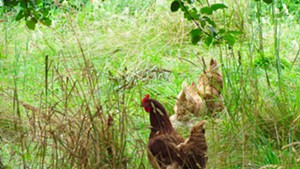 Chickens scouting pests at La Garagista Farm and Winery