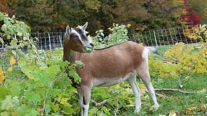 Daisy the goat