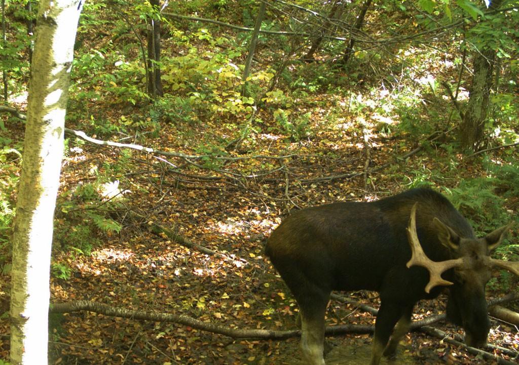 Moose - COURTESY OF JENS HILKE