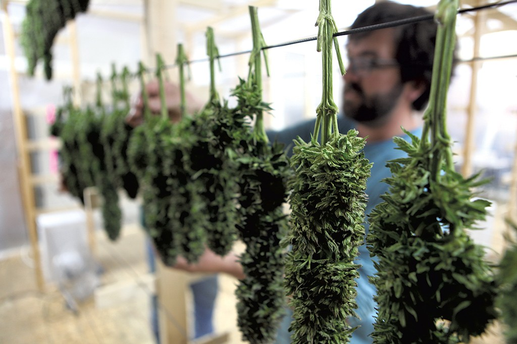 Sow Much Hemp: A Large Harvest Prompts Fears of Oversupply