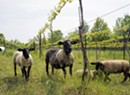 UVM Researchers Study Benefit of Sheep Grazing Shelburne Vineyard