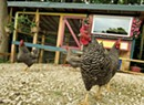 Chicken Keepers Design Stylish, Functional Coops for Their Flocks