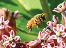 The Bees' Needs: Vermonters Are Protecting and Championing Imperiled Pollinators