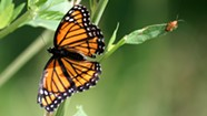 Monarch Tagging & Natural History