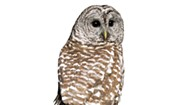 WTF: Why Are There More Owl Spottings in Vermont This Year Than Normal?