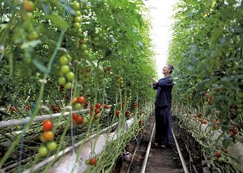 Vermont Tomato Farmer Leads Defense of Organic Principles