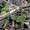 Fiddlehead Overharvesting Worries Conservationists