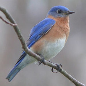 250px_eastern_bluebird_27527_2_jpg-magnum.jpg