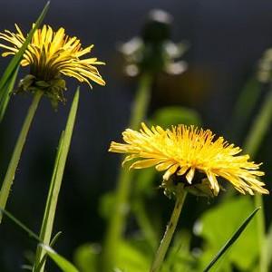54c02aec_common-dandelion-dandelion-flower-bud-56896sq.jpg