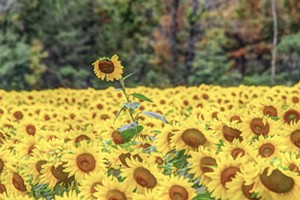 """COURTESY OF LITTLE UMBRELLA CURATION - """"Sunflower"""" by Stephen Mease"""