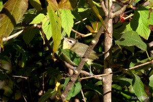 Tennesee Warbler - Uploaded by reenyb