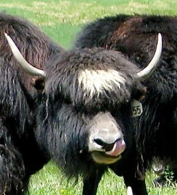 foodnews-yak.jpg