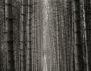 "COURTESY OF JACKSON GALLERY - ""White Pines, Ripton, Vt."" by Brett Simison"