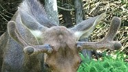 "Why ""Pete the Moose"" Could Still Be Caught in the Crosshairs"