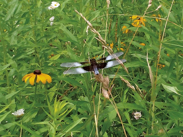 Widow skimmer dragonfly - ETHAN DE SEIFE