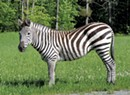 Yes, a Zebra Roams in Vermont