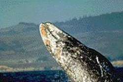 THOMAS M. JOHNSON - A breaching gray whale along the Bay Area - coastline.