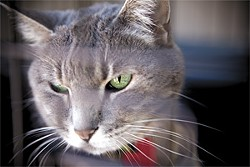 JAKE POEHLS - A cat available for adoption at  Give Me Shelter Cat Rescue.