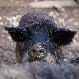 A Mangalitsa hog -- your, um, date for the Pork Prom. - MEDXTREME/FLICKR