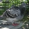 A Pigeon Noir