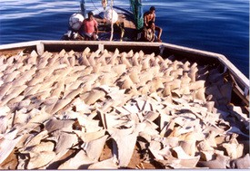 AB 376 may help reduce the demand for shark fins, above.