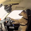 Watch This Fearless Pup Drive Through San Francisco