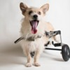 Adopt This Wheelchair-Bound Dog